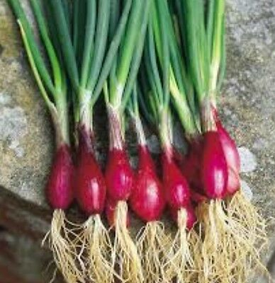 Red Salad Onion 100 Seeds Minimum Vegetable Garden Plant. Great For Salads.