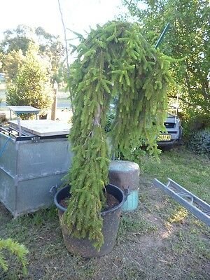 Picesa abies 'Frohburg' - Weeping Spruce - Garden feature plant or bonsai