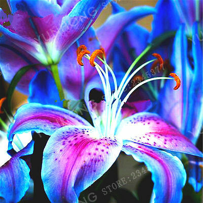 RARE Blue Lily Flower Bulbs (Not Lily Seeds) - 4 Bulbs, Home And Garden Plants