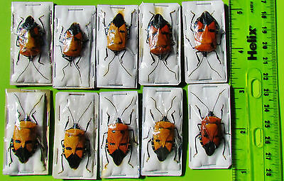 Lot of 10 Unusual Man-Faced Bug Catacanthus incarnatus Stink FAST FROM USA