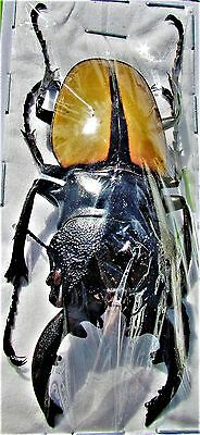 Indonesian Stag Beetle Odontolabis ludekingi 60-69mm Male FAST SHIP FROM USA