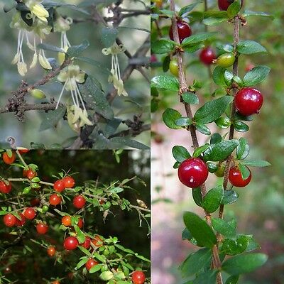 PRICKLY CURRANT BUSH (Coprosma quadrifida) SEEDS 'Bush Tucker Food'