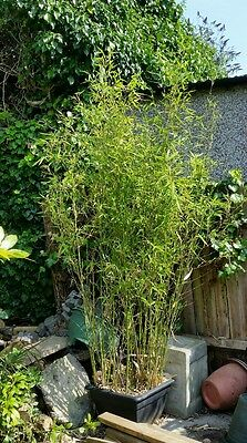 Phyllostachys Large Green Bamboo potted clump in 30cm pot