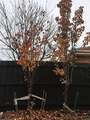 Two Mature Ornamental Pear Trees