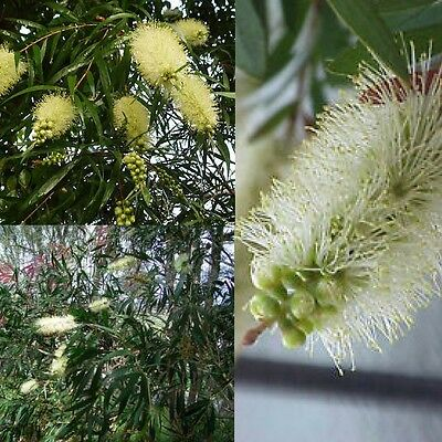 WHITE WILLOW BOTTLEBRUSH (Callistemon Salignus) 'Bush Tucker Food'