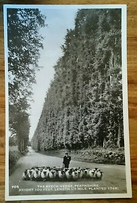 THE BEECH HEDGE, PERTHSHIRE,  SCOTLAND postcard
