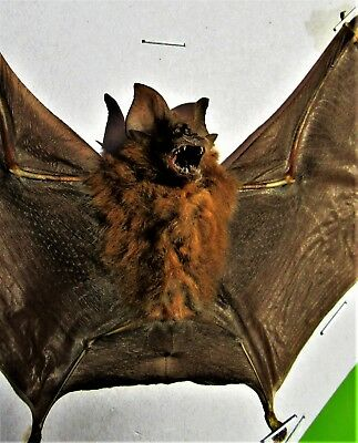 One Real Blyth's Horseshoe Bat Rhinolophus affinis Spread 7+ Span FAST FROM USA