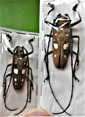 Unique Sulawesi Longhorn Beetle Batocera celebiana FAST SHIP FROM USA