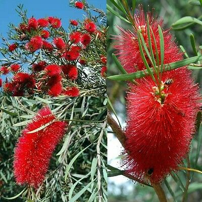 FIERY BOTTLEBRUSH (Callistemon Phoeniceus) 'Bush Tucker Food'