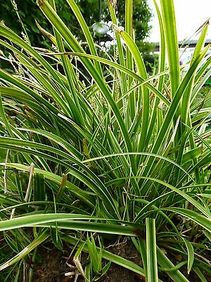 Carex Morrowii 'Variegata' - Japanese sedge grass (rooted cutting) evergreen
