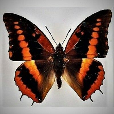 Lot of 2 Violet-washed Charaxes Butterfly Charaxes lucretius ssp Male Folded