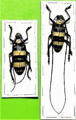 Sulawesi Black & Yellow Longhorn Beetle Nemophas bifasciatus Pair FAST FROM USA