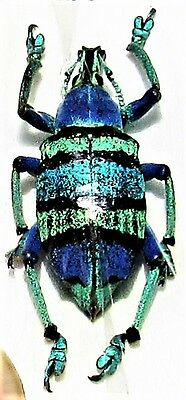 Blue Banded Snout Beetle Eupholus schoenherri sp FAST SHIP FROM USA