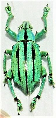 Wonderful Blue Striped Snout Beetle Eupholus cuvieri FAST SHIP FROM USA