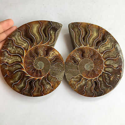 Top!1 pairs of Split Ammonite Fossil Specimen Shell Healing from Madagascar-398g