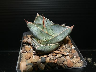 AGAVE PUMILA - great for cactus/succulent collectors- One Plant