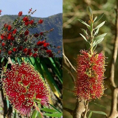 SCARLET BOTTLEBRUSH (Callistemon Rugulosus) 'Bush Tucker Food'