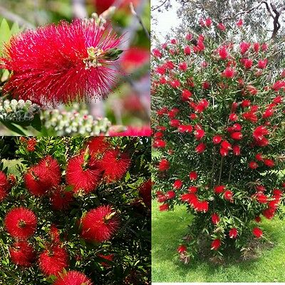 CRIMSON BOTTLEBRUSH (Callistemon Citrinus) SEEDS 'Bush Tucker Food'