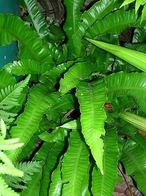 3 x 3litre/19cm POTTED Evergreen HART'S TONGUE FERN Scolpendim Hardy Shade