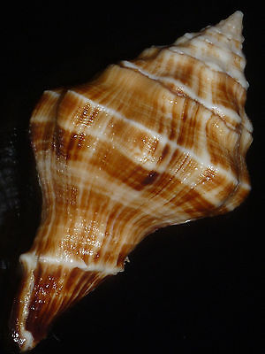 Tudivasum rasilistoma w/o 67.6mm FROM PRIVATE SHELL COLLECTION