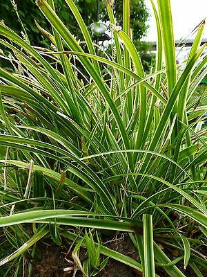 Carex Morrowii 'Variegata' - Rooted cutting (plant) Hardy Perennial Grass