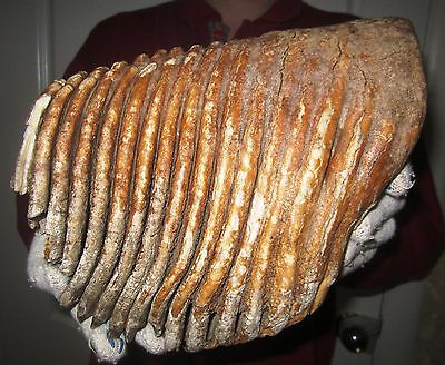 Tooth of a Woolly Mammoth Museum Quality!!! FOSSIL Pleistocene