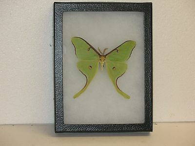 Real framed Luna Moth Male from North America