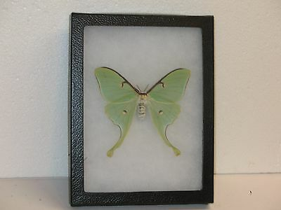Real framed Luna Moth Female from North America