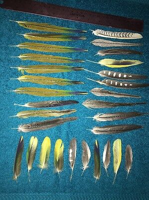 30 Conure/Cockatiel Tail  Feathers/wing Feathers (d)