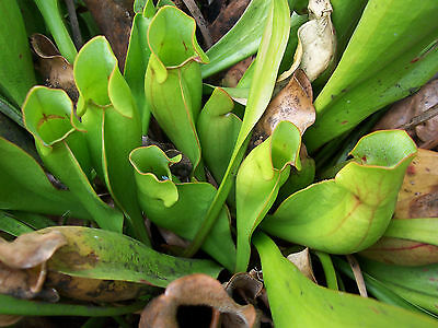 Sarracenia purpurea and green form one young living specimens