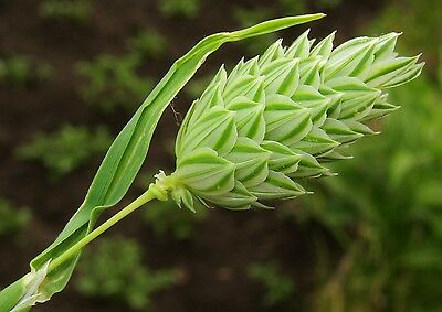 3000 Seeds of CANARY of Canary /Canary GRASS/ PHALARIS Canariensis / FLOWER