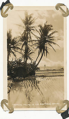 1920s  Tropical Palms in the Rice Fields, Hawaii Photo