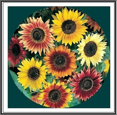 40 Seeds Sunflower Beauty of Autumn / Grand Sun / Flowers Cut