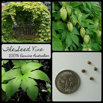 10+ COMMON BEER HOPS SEEDS (Humulus lupulus) Home Brew Perennial Vine Medicinal
