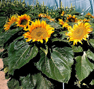 Sunflower Incredible - helianthus - various quantities - Annual