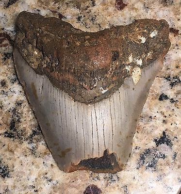 FMT#2 - Megalodon Tooth from Martha's Vineyard, Massachusetts. Real Fossil