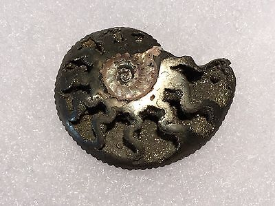FPA#1- Pyrite Ammonite Fossil With Druzy Pockets from Germany