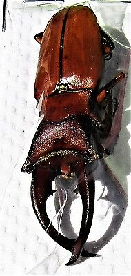 Extremely Rare Palawan Stag Beetle Cyclommatus alagari 50mm Male FAST FROM USA