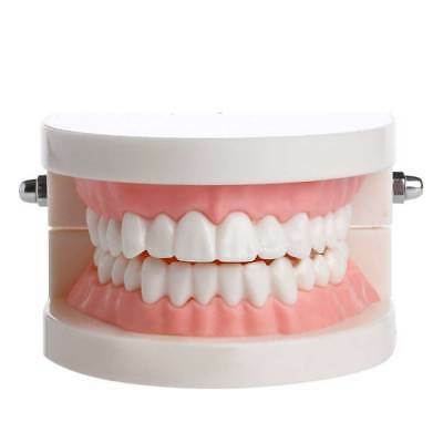 Pro Dental Adult Standard Typodont Demonstration Teeth Model for Teaching Study