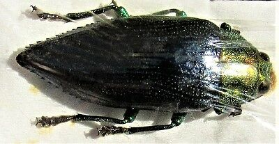 Leti Island Black Jewel Beetle Gelaeus walkeri FAST SHIP FROM USA