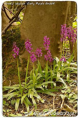 Orchis mascula 'Early Purple Orchid' [Ex. Co. Durham] 1000+ SEEDS