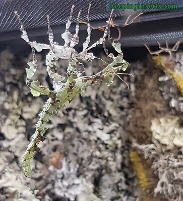 12 hatching guaranteed Extatosoma ova ( phasmid / insect : Macleay's Spectre)