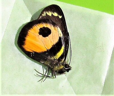 Cute Alberts Butterfly Delias albertisi albertisi Pieridae Folded FAST FROM USA