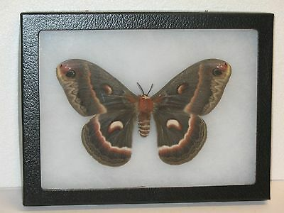 Real framed Cecropia Moth Female from North America