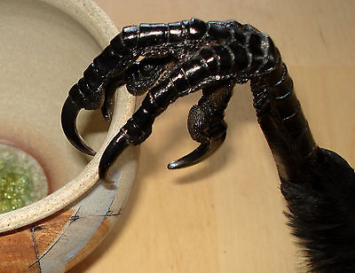1 genuine Icelandic beautiful raven foot,Claw(Common raven)Taxidermy,Decoration