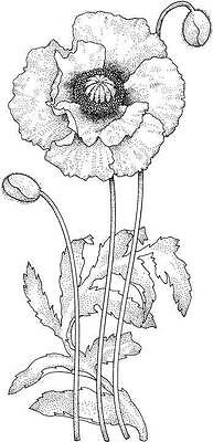 Flower - Poppy #1 Unmounted Clear Stamp Approx 29x60mm