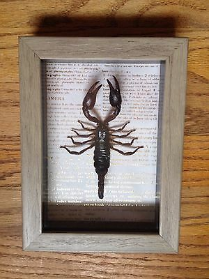 Beautiful Framed Emperor Scorpion 5x7 Real Insect Bug