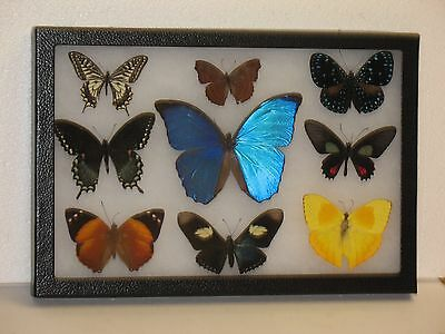 Real framed Butterfly collection #10