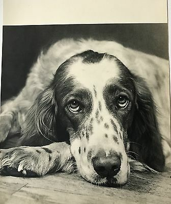 ENGLISH SETTER DOG  Original  Vintage Book Print Photographed by YLLA