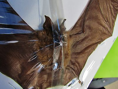 "Intermediate Roundleaf Bat Hipposideros larvatus Taxidermy 9+"" FAST SHIP FROM US"